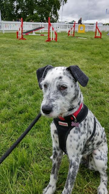 Spotty dog at agility