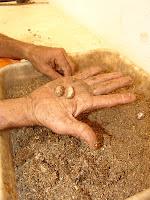 preparação das sementes de cacau  para plantio