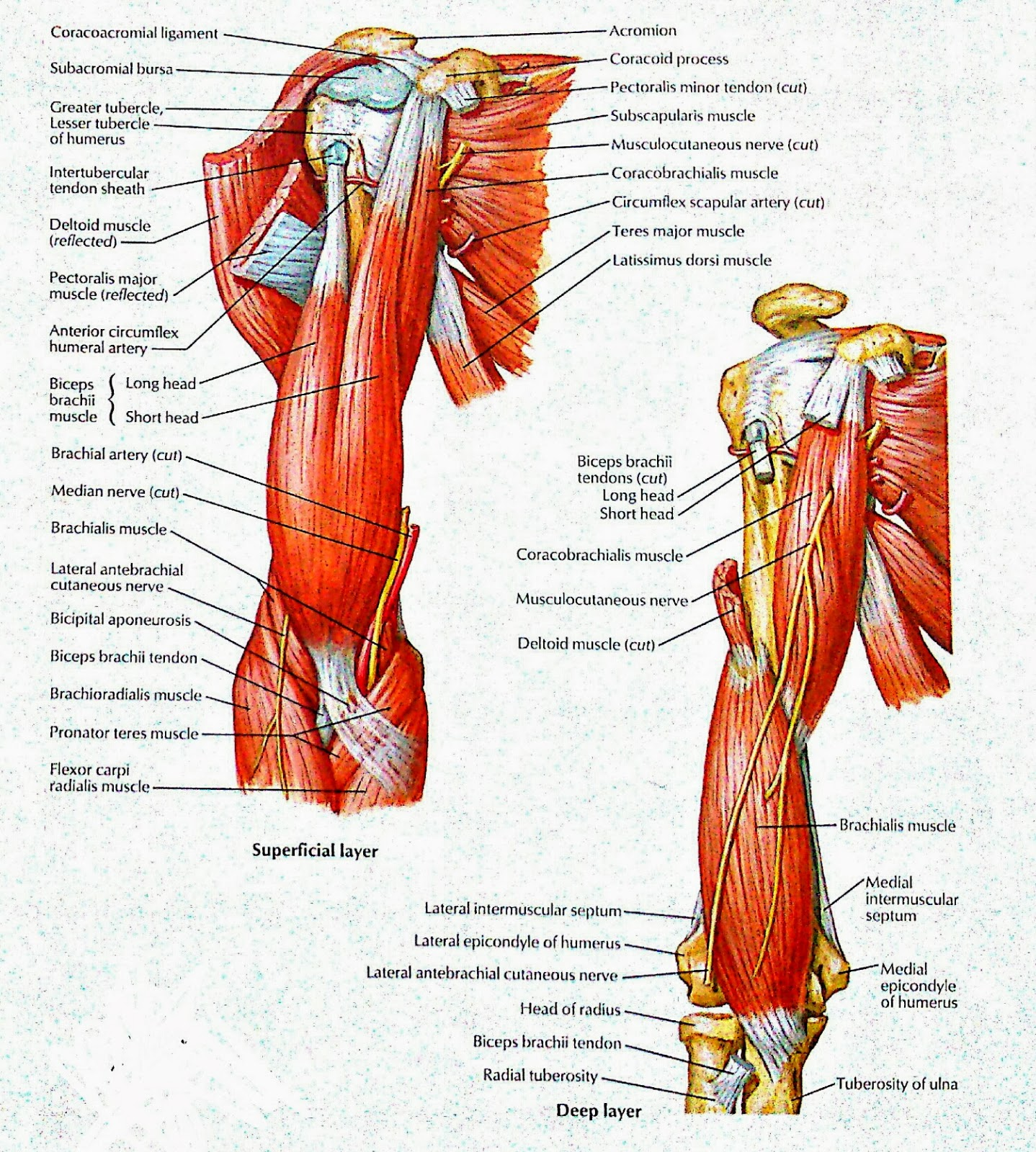 Muscles Of Arm Anterior Views Superficial Deep Layer Visual