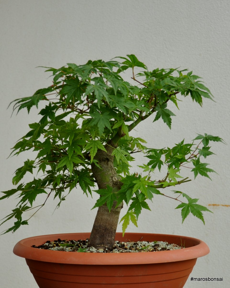 Maros Bonsai Blog Acer Palmatum After Wiring