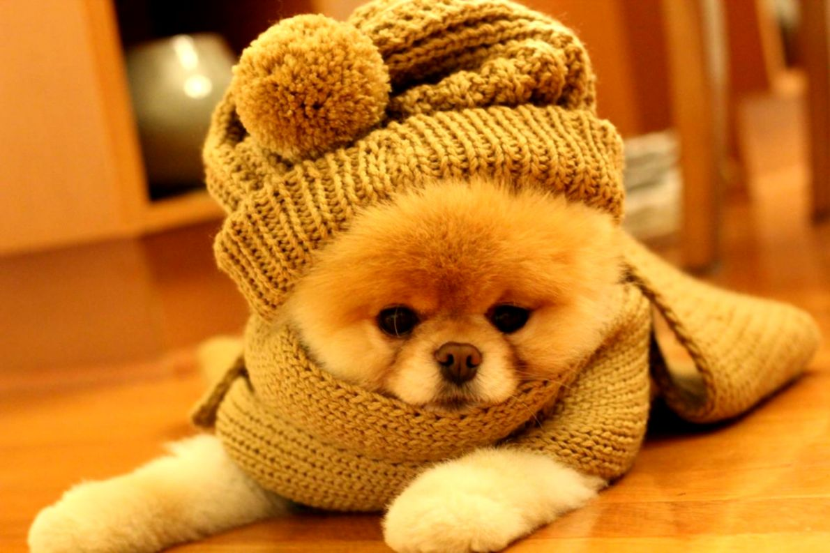 Simple Boo Army Adorable Dog - cute-dog-boo-hd-wallpaper-8  Pictures_603969  .jpg