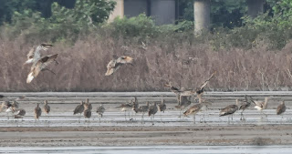 Eurasian and Far Eastern Curlews (Numenius arquata and N madagascariensis)