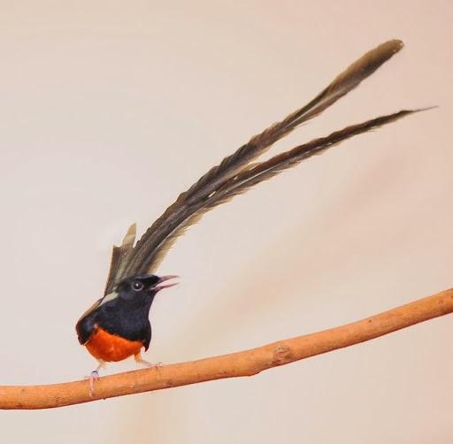foto burung murai - gambar hewan