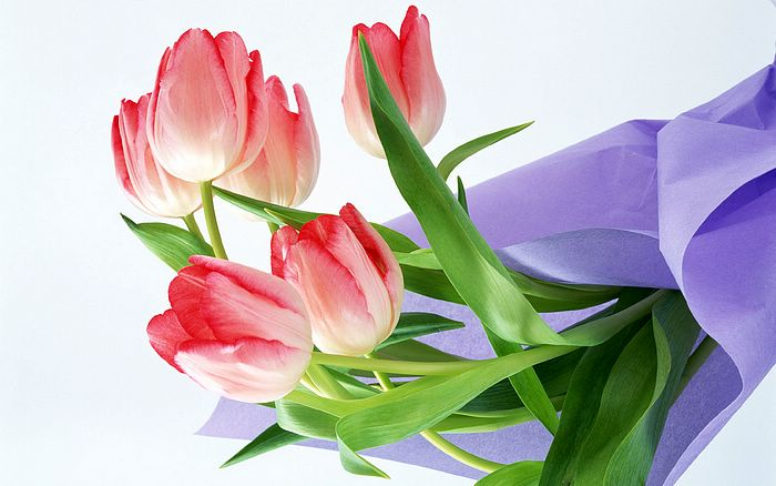 wallpapers for desktop flowers. Pink Tulip Flowers Wallpapers