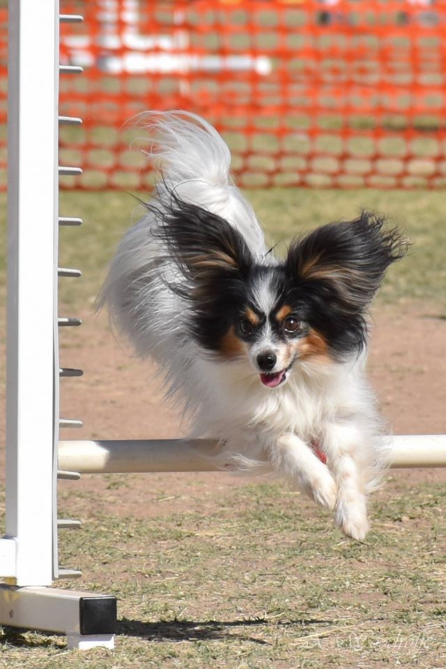 Road's End Papillons in Agility Performance