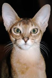 buy abyssinian kitten