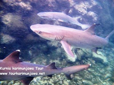 penangkaran hiu primadona karimunjawa