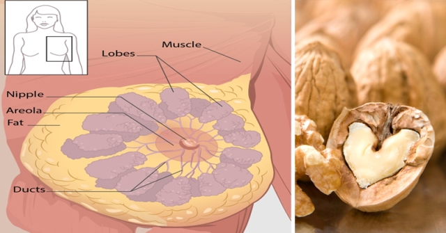 HOW WALNUTS FIGHTING cancer