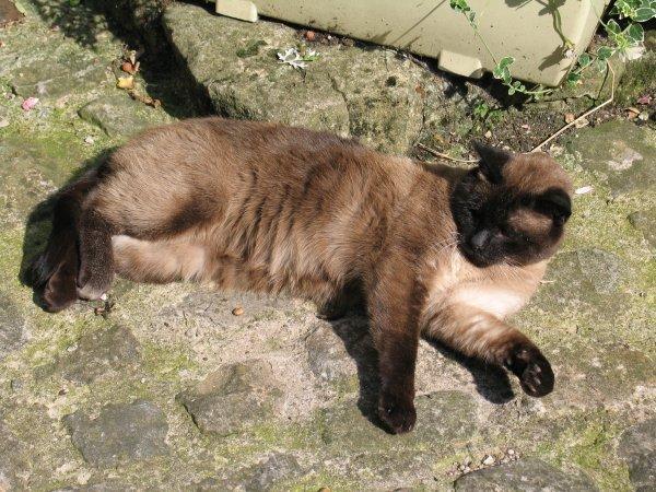 Quelques Races de chats dans CHAT chat-qui-dort