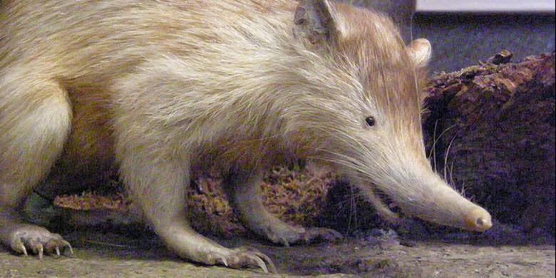 Solenodon Si Tikus Raksasa Berbisa