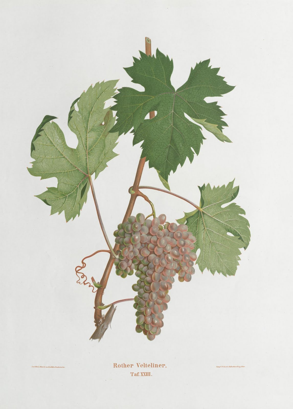 book illustration of bunch of grapes