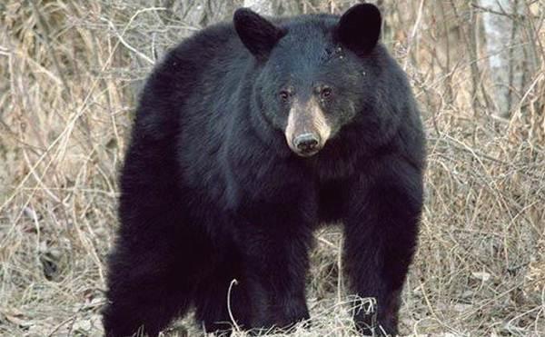 gambar beruang hitam