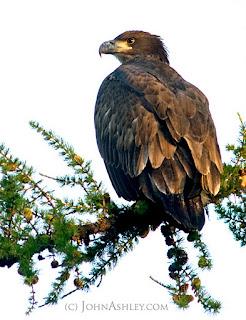 Banding a juvenile Bald Eagle(c) John Ashley
