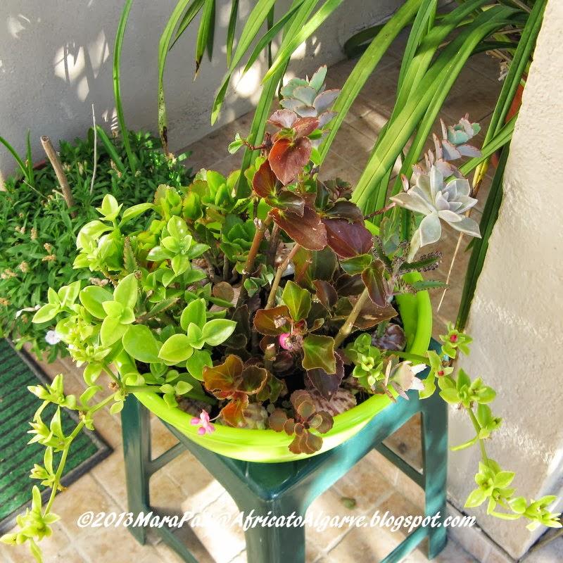 Arranging succulents