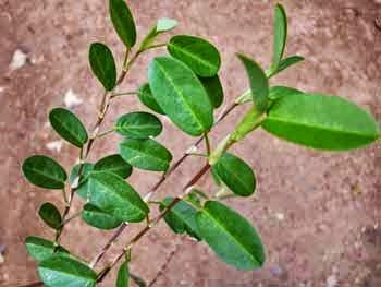 Aswenna Leaf