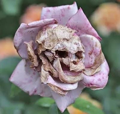 Bunga Layu Mirip Tengkorak