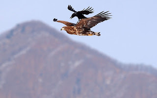 crow tries to take a ride on an eagle