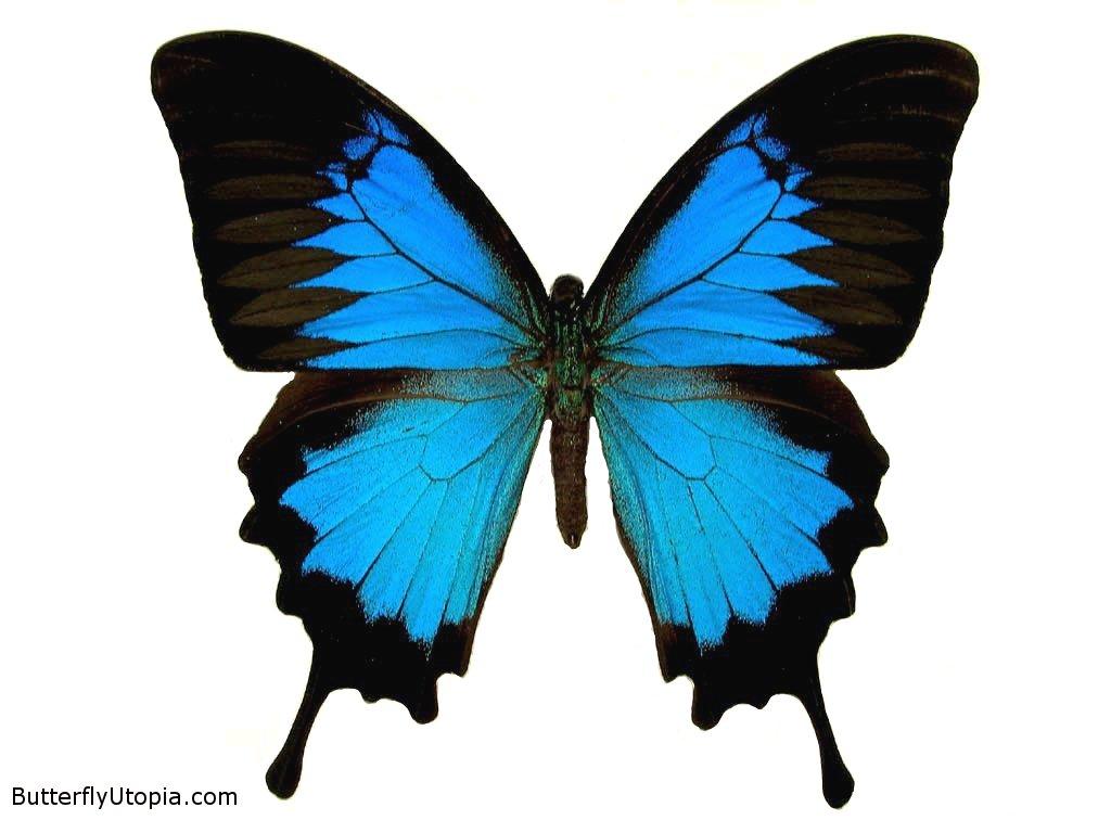 HD Animal Wallpapers: Butterfly Wallpaper