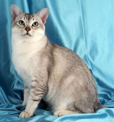 Foto Kucing Burmilla