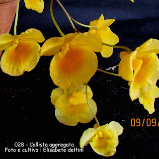 Dendrobium lindleyi  do blogdabeteorquideas