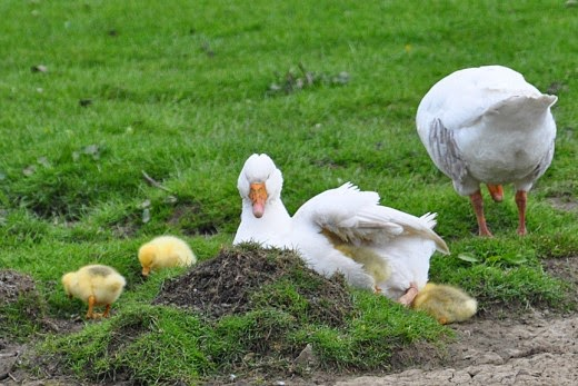 Adult Embden geese with goslings brooding