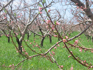 fruit trees with pink blossoms
