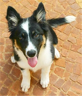 G And H Border Collies Welcome to Annabel's C...