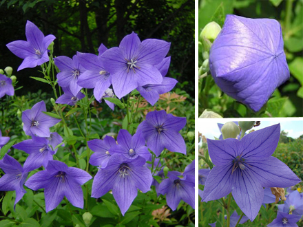 platycodon-chinese+bellflower