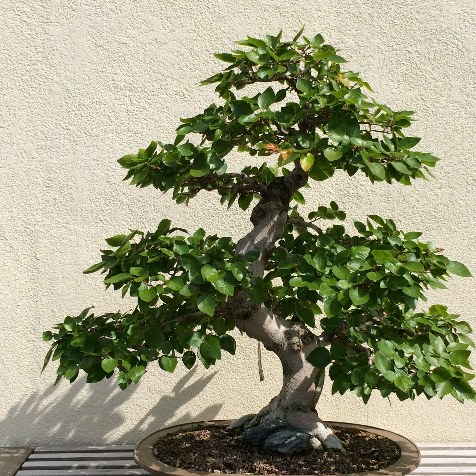 Visual St Paul Bonsai Trees ABC WEDNESDAY QuotBquot