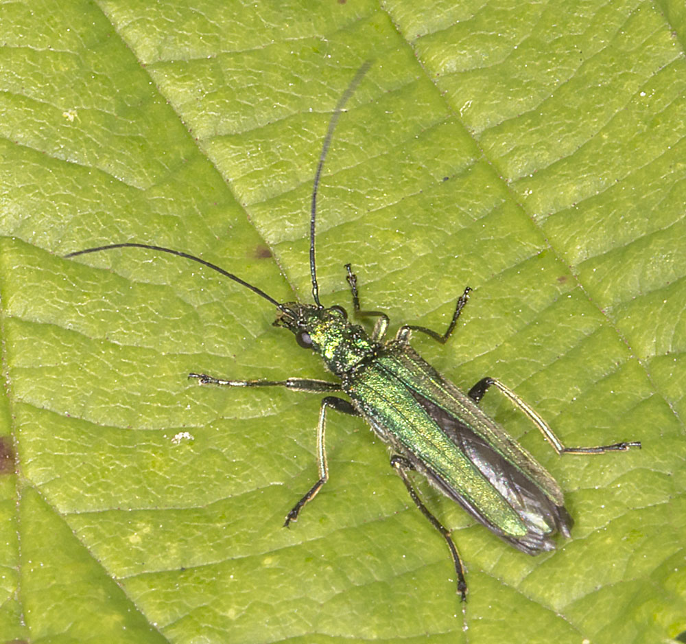 Oedemera nobilis.  Female.  West Wickham Common, 6 June 2014.
