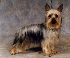 Australian Silky Terrier ~ Dog Breeds Database