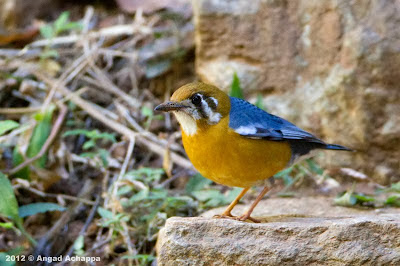 Orange headed thrush at Nandi Hills