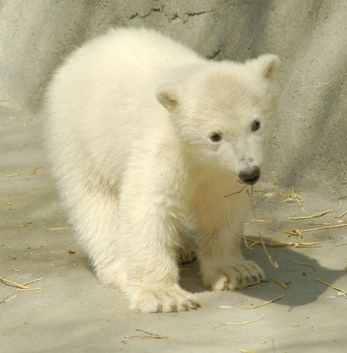 Cute Pictures Of Baby Polar Bears