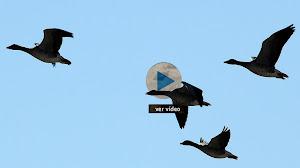 Los gansos de Isla Mayor
