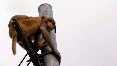 Monkey making problem in Mungpoo