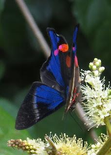 Rhetus periander