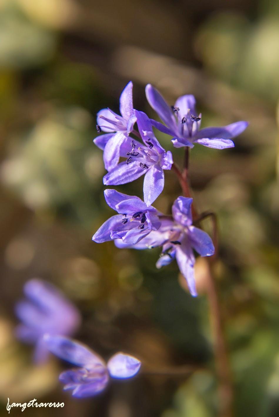 Flore des Alpes, Haute-Savoie, printemps