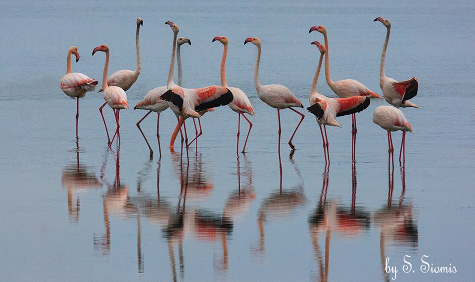 Φλαμίνγκος.. Τα πουλιά της αγάπης
