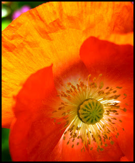 Close up Image of a Poppy Flower