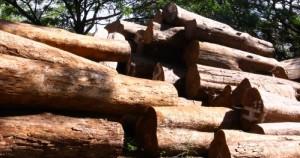 cara membeli kayu perhutani