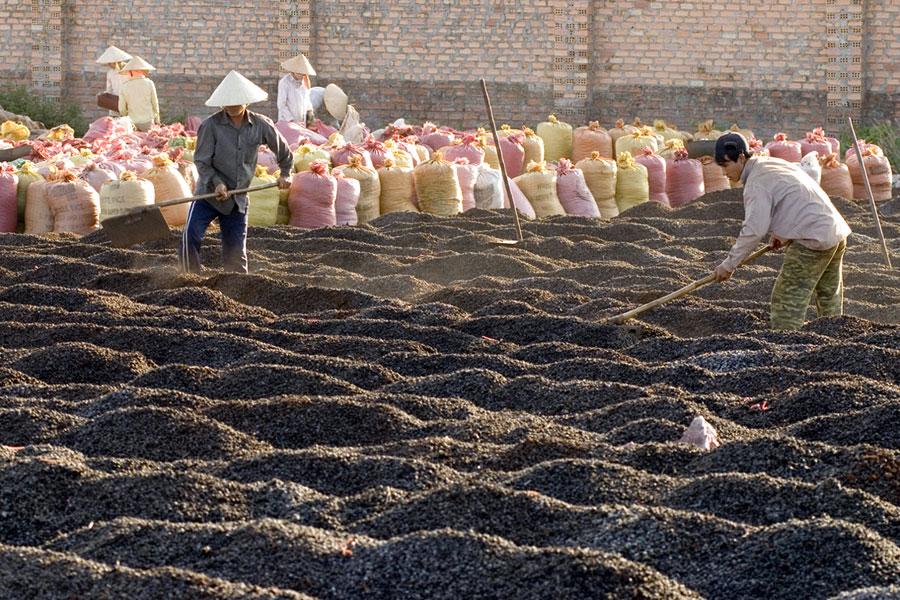 Gia Lai: Giá cà phê tăng cao nhưng nông dân vẫn găm hàng
