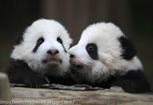 Two Cute Little Pandas.