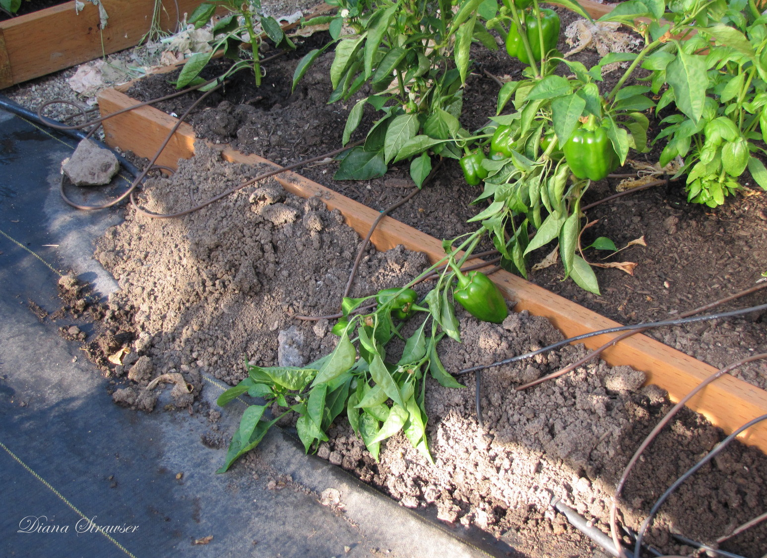 Do Moles Have Roots http://voiceinthegarden.blogspot.com/2011/10/hoop-house-redo-and-moles.html