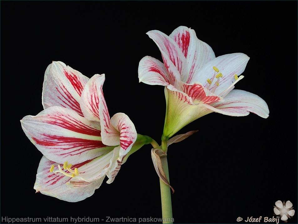 Hippeastrum vittatum hybridum flowers - Zwartnica paskowana, hipeastrum kwiaty