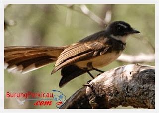 Burung sikatan jantan
