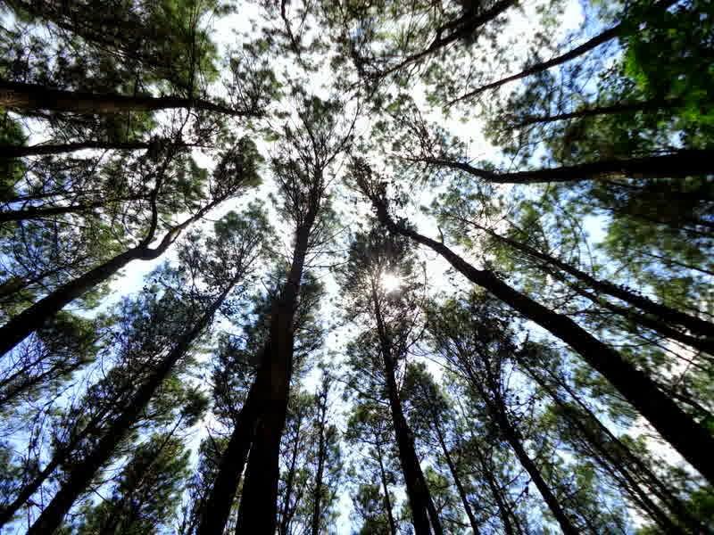 pohon-pinus-imogiri-bantul