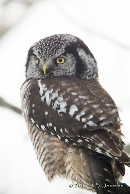 Hawk vs owl - photo#24