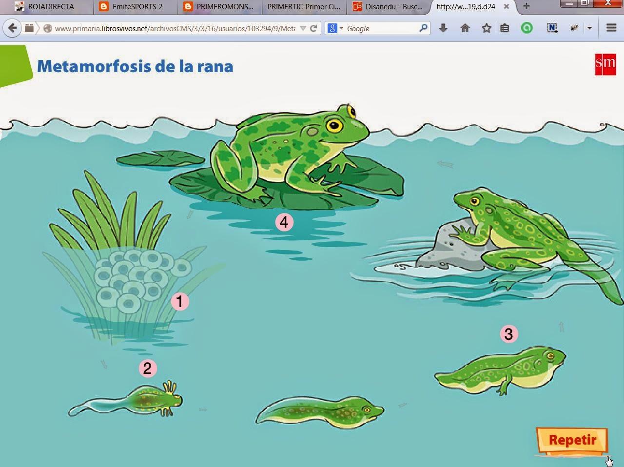 PRIMEROMONSALUD: La metamorfosis de la rana