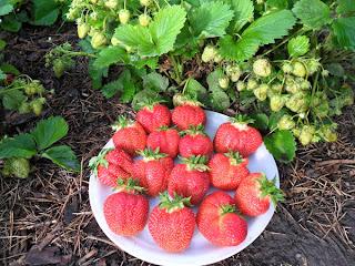 Первые ягоды клубники