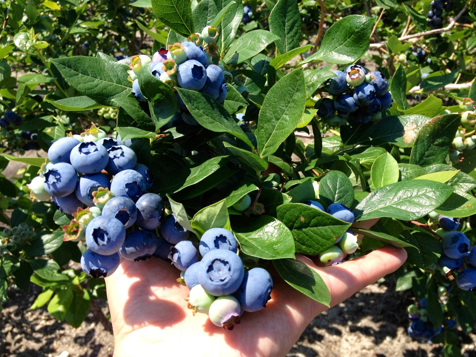 large blueberry plants for sale dimeo farms blueberry bushes